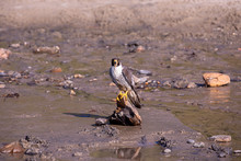 Up Close Portrait Of A Peregrine Falcon Sitting On A Piece Of A Driftwood On A Beach Of Cape Kiwanda