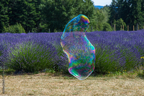 Giant soap bubble of a funny form floating over purple lavender field