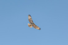 A Closeup From Below View Of A Red-tailed Hawk Against Blue Sky, Steens Mountains, South Oregon
