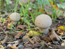 Smooth Puffball Mushrooms (Lycoperdon Molle)