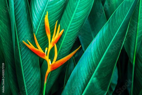 Fototapete - colorful exotic flower on dark tropical foliage nature background, tropical leaf