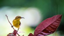 Yellow - Bellied Sunbird