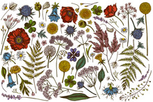 Vector Set Of Hand Drawn Colored Shepherd's Purse, Heather, Fern, Wild Garlic, Clover, Globethistle, Gentiana, Astilbe, Craspedia, Lagurus, Black Caraway, Chamomile, Dandelion, Poppy Flower, Lily Of