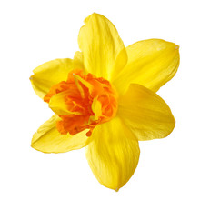 Bright Yellow-orange Daffodil Flower Isolated On White Background.