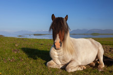 Icelandic Horse Resting In A Field In Northern Iceland