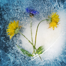 Dandelion Flowers Are Ice-boun...