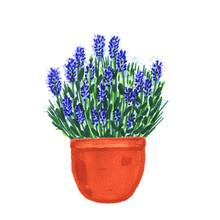 Blue Lavender Bush In Pot , Marker Illustration Isolated On White Background
