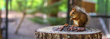 Cute Red Squirrel Eating Nuts In The Zoo In Aviary. Nature. Panoramic Banner.