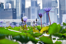 Close-up Of Vibrant Violet Flowers And Green Water Lilies In Pond, With Skyscrapers Of Downtown Singapore In Background - Singapore