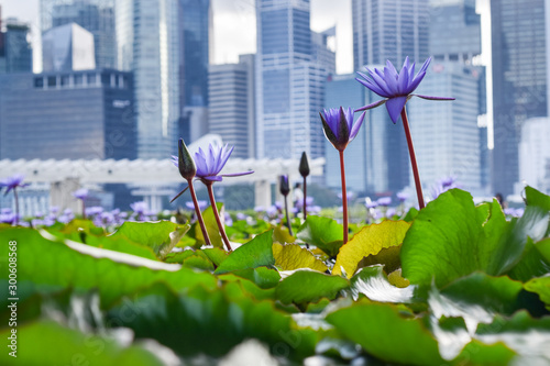 Deurstickers Waterlelies Close-up of vibrant violet flowers and green water lilies in pond, with skyscrapers of downtown Singapore in background - Singapore