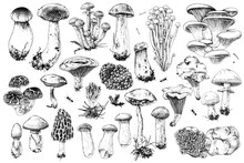Hand Drawn Edible Mushrooms Co...