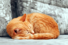 Close-up Of Curled Up Sleepng Ginger Cat