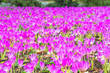 Leinwandbild Motiv Meadow with purple colchicum autumnale or autumn crocus.  Autumn flowers on a sunny day close up.