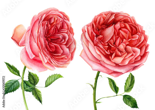 Big set of flowers roses, leaves, bud on an isolated white background, watercolor hand drawing, botanical painting #300619172
