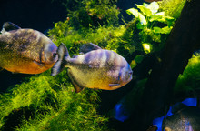 Piranha Arnivorous Fish In Mon...