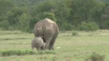 A White Rhino Baby Following Behind The Mother As They Walk Away From The Camera