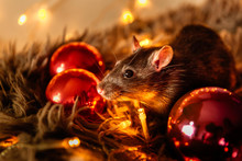 Black Rat With A Beautiful Pink Nose Sits On A Gray Warm Plaid Against A Background Of A Garland Of Yellow Blurry Lights