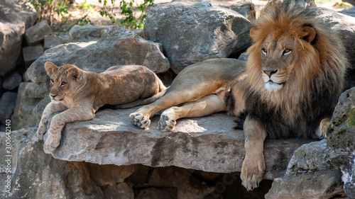 Tela male african lion relaxing with cub