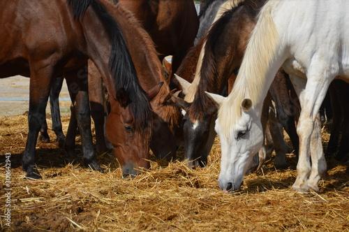 varios caballos comiendo Wallpaper Mural