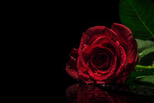 A Beautiful Moody Red Rose With Water Droplets/rain Drops On Black Reflective Surface And Blacked Out Background. Valentines, Mothers Day, Flower, Botanical, Love And Romance Concept.