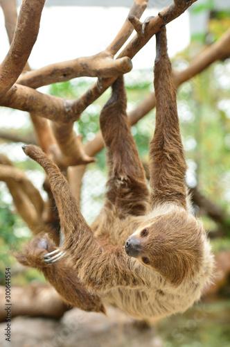 Obraz na plátně  木の枝にぶら下がるフタユビナマケモノ