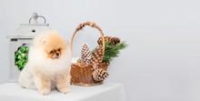 Pomeranian Spitz Sits Next To ...