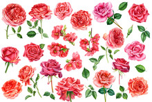 Set Of Quince Flowers, Leaves, Bud, Red Roses On An Isolated White Background, Watercolor Hand Drawing, Botanical Painting
