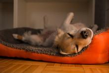 Cute Small Dog Breed Pug Lying...