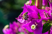 Diligent Bee Covered With Pollen On A Leaf Of A Bougainvillae