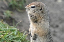 Portrait Of Arctic Ground Squirrel, Carefully Looking Around So As Not To Fall Into The Jaws Of Predatory Beasts. Curious Wild Animal Of Genus Rodents Of Squirrel Family. Eurasia, Russia, Kamchatka.
