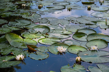 Landscape With Water Lily On Lake