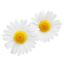 Chamomile Or Camomile Flowers ...