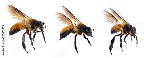 Bee isolated on white background. Poster Mural XXL