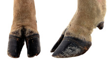 Cow Hooves On White Background.