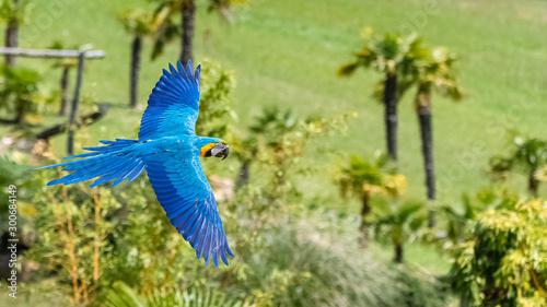 Deurstickers Papegaai Blue and yellow macaw, Ara ararauna, beautiful parrot flying