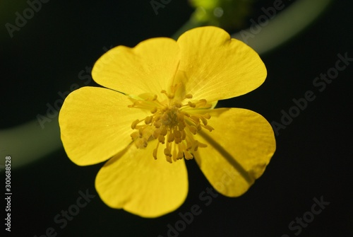 Photo Yellow flower with five petals and raindrops, Ranunculus acris, meadow buttercup