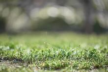 Green Lawn After Rain. Grass C...