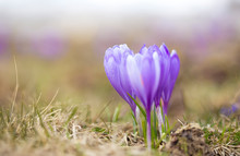 Crocus Flower On The Mountain Slopes In Spring After Snow Melts
