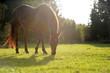Abendidyll auf der Pferdeweide. Braunes Pferd grast in der Abendsonne