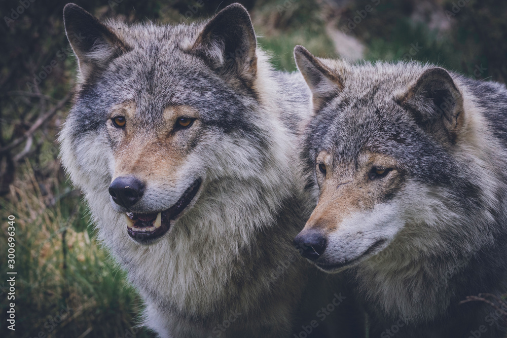 Wolf couple portrait in the wild. Nature, eyes, wolves, wolf pack, beautiful animals, killers, predators, hunters, eyes, grey, wilderness, outdoor concept.