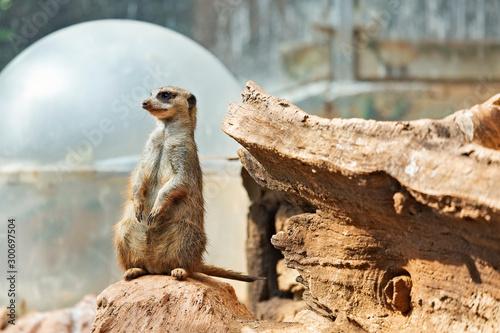 Fotografie, Tablou  Small, beautiful meerkat