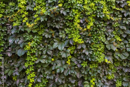 Closeup view of beautiful green plants wall. Horizontal color photography.