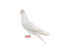 White Pigeon Isolated On A Whi...