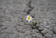 Beautiful Daisy Grows Through ...