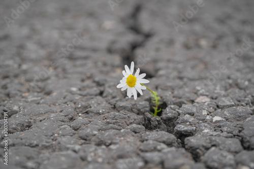 Photo beautiful daisy grows through a crack in the asphalt