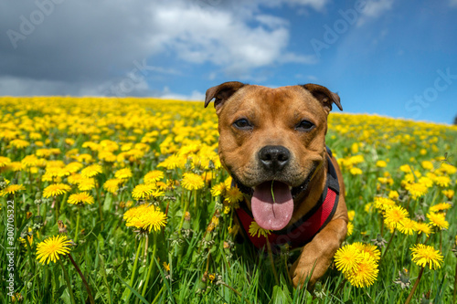 Portrait of a staffordshire bull terrier in yellow flower field in spring Tableau sur Toile