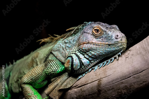 Iguana relaxing on a old stump with black background Fototapeta