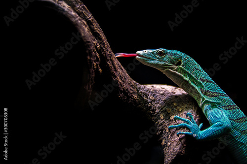 Photographie Varanus prasinus lizard climbing a tree with a black background