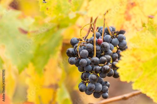 Red vineyards in the appellation of origin The valleys of Benavente in Zamora (Spain)