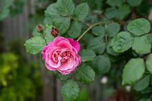 咲き掛けの薔薇